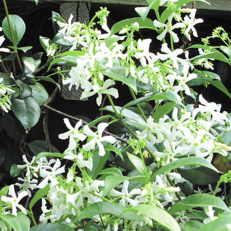 Plants waterwise socal extremely fragrant white star shaped flowers in the spring make the star jasmine the perfect low water shrub for any yard it can be used as a rambling mightylinksfo