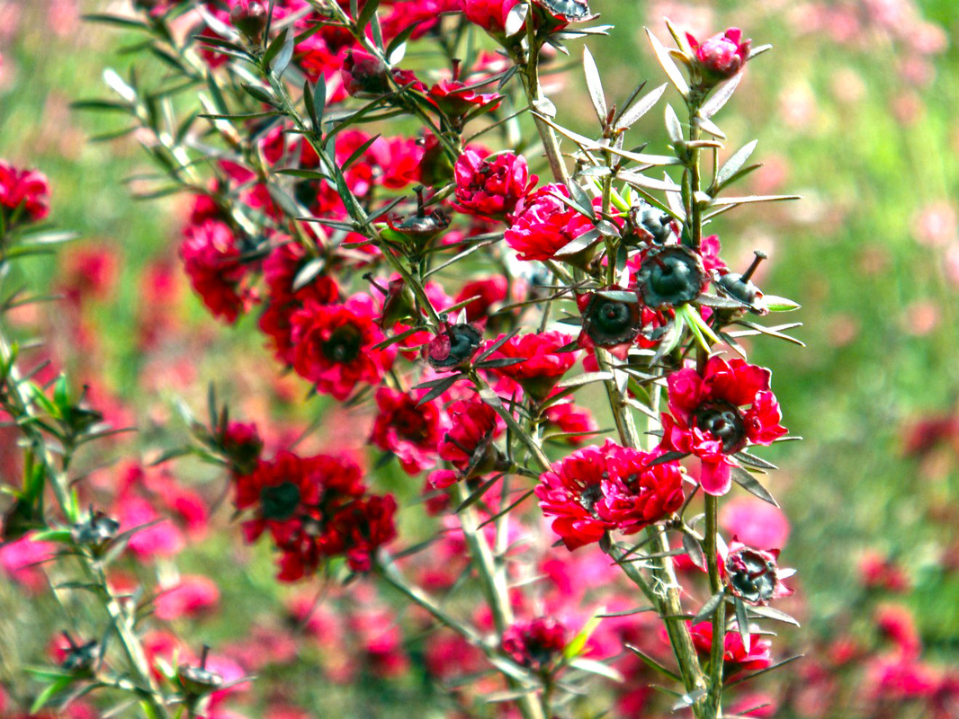 Plants waterwise socal tightly branched evergreen shrub covered with tiny dark green leaves this little shrub boasts dark pink flowers and are perfect for waterwise landscapes mightylinksfo